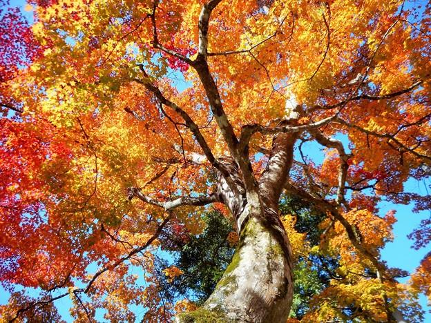 巨樹 三原・佛通寺のオオモミジ
