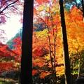備後路の杉木立の紅葉 in 大本山佛通寺参道