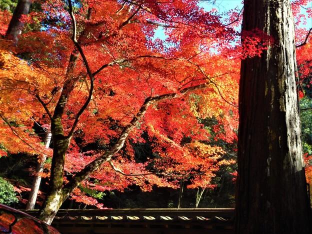 杉木立の紅葉 in 仏通寺参道