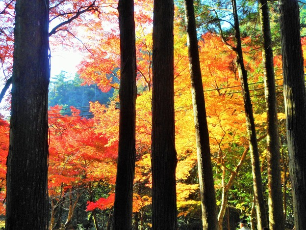 錦秋の古刹の杉木立