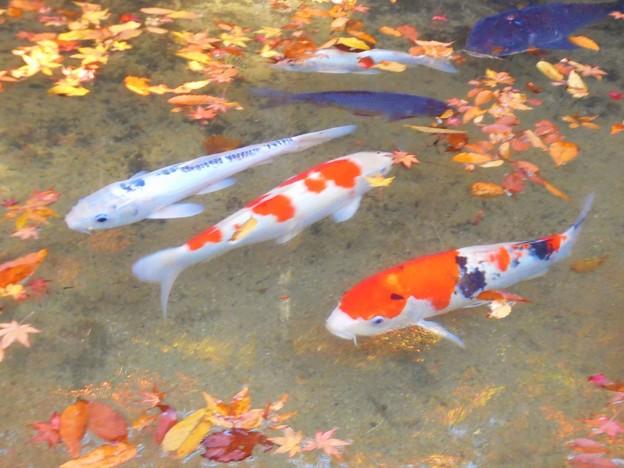 晩秋の錦鯉たちも紅葉狩り in 仏通寺・崑崗池