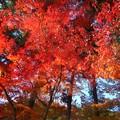 見上げれば 杉木立の紅葉