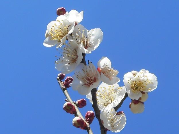 陽春の青空に ほのかに香る 白梅の花