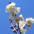 写真: 陽春の青空に ほのかに香る 白梅の花