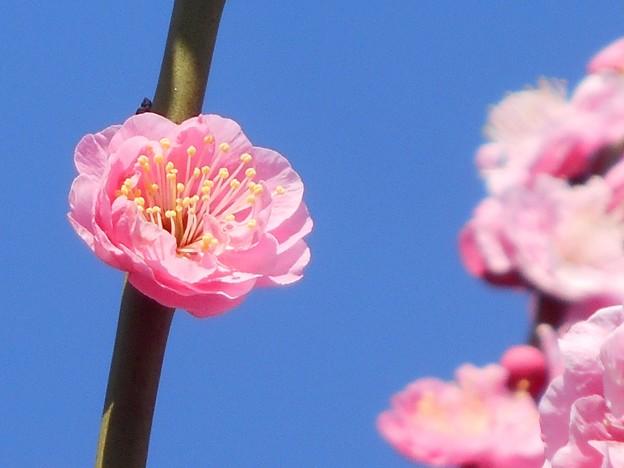 とてもキュートな 八重の紅梅 in 高諸神社周辺