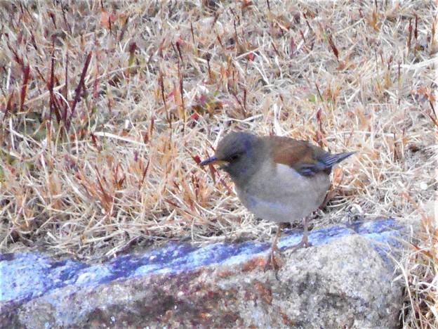 千光寺山の野鳥シロハラ(ヒタキ科)