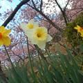彼岸桜とラッパ水仙 in 千光寺山