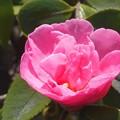 写真: 和菓子茶房の庭に咲く~八重のサザンカ~