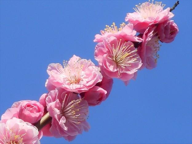 満開 甘い香りの 八重の紅梅