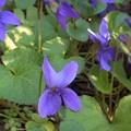 写真: すみれの花の咲くころ