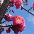 八重の花桃が満開。