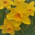 春風に揺れる@海岸通りの黄水仙