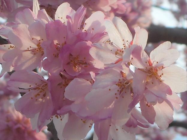 福島・三春滝桜の子孫樹 in 千光寺山@国天然記念物の日本三大桜