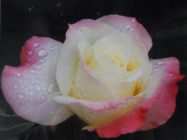 銀賞「薔薇の雫」小土井清和さんの作品