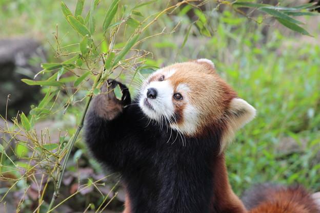 笹の葉を食べるレッサーパンダ