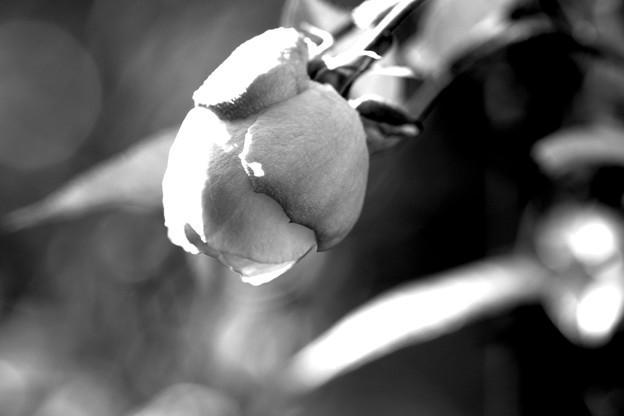 写真: ズバリ・ミニ薔薇「アート」
