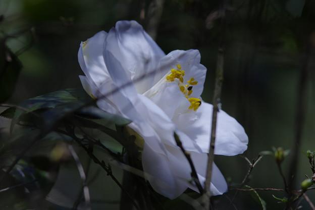 八重咲「白い椿」