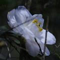 Photos: 八重咲「白い椿」
