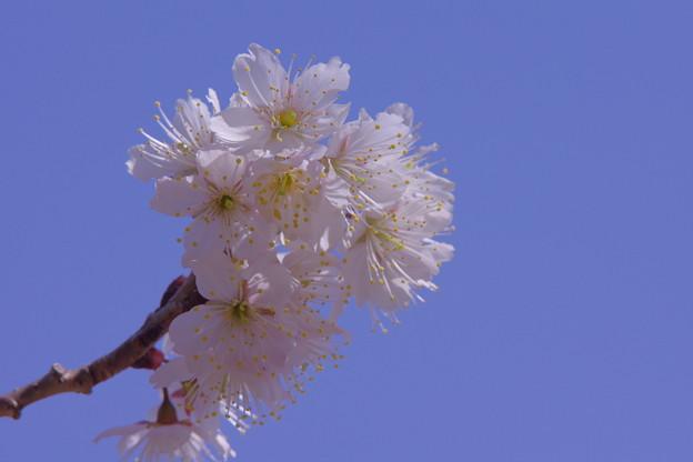 写真: 桜桃(おうとう)「サクランボ」   あの時を忘れないで!