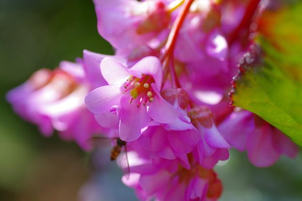 写真: 咲き乱れる「ヒマラヤユキノシタ」
