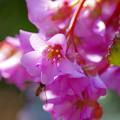 Photos: 咲き乱れる「ヒマラヤユキノシタ」