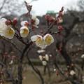 写真: 大阪城公園の梅林9