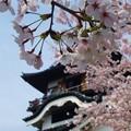桜に隠れて