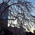 写真: 山下公園の桜