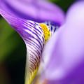 写真: 寒咲きアヤメ