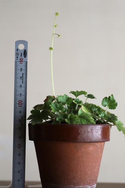 斑入りチャルメル草(5)
