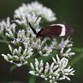 ヒヨドリバナ(鵯花)
