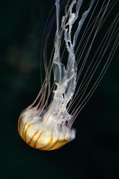 アカクラゲ(赤水母、赤海月)