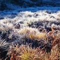 ヤチボウズもまっ白け、手前は日が当たって溶けてます