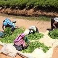 Photos: 摘んだ茶葉のゴミ取りをして このあと計量します