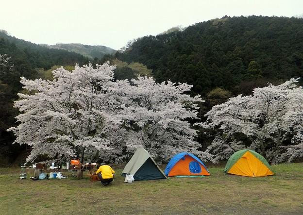 花見キャンプ中