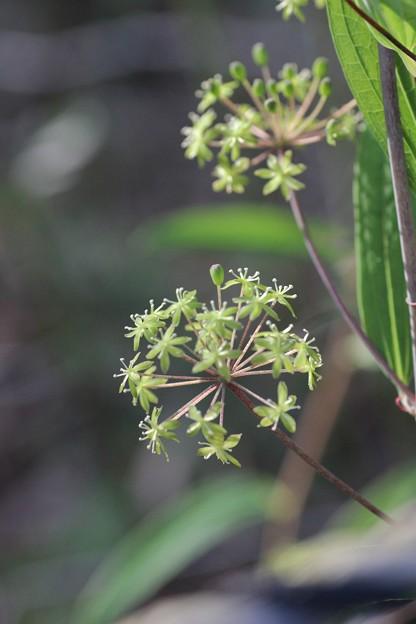 タチシオデ(立牛尾菜 ) ユリ科