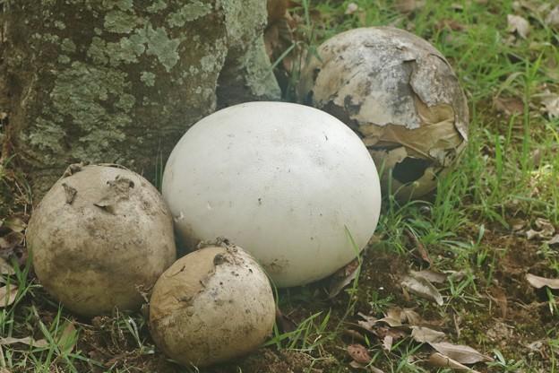 キノコ:オニフスベ(鬼燻、鬼瘤) ホコリタケ科 大きさ直径約40~45センチ位