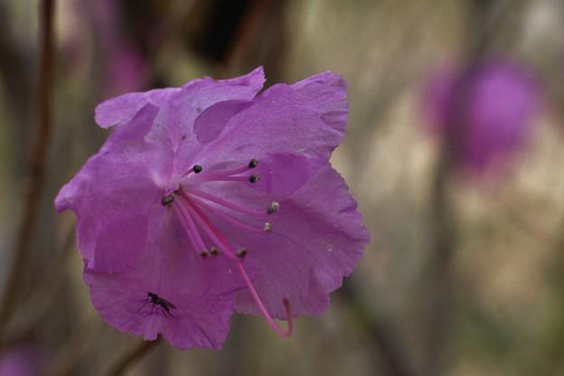 エゾムラサキツツジ(蝦夷紫躑躅)  ツツジ科