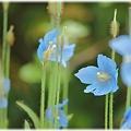 Blue Poppy_0005