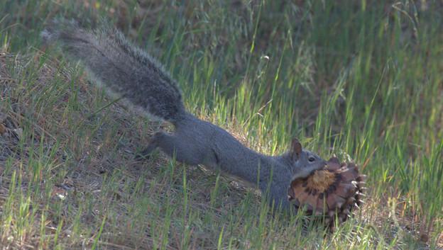 Eastern Gray Squirrel (7)