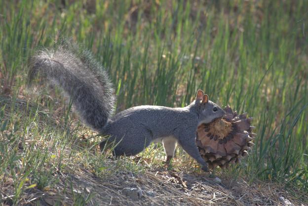 Eastern Gray Squirrel (8)