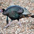 Photos: Wild Turkey (2)