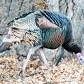 Wild Turkey (4)