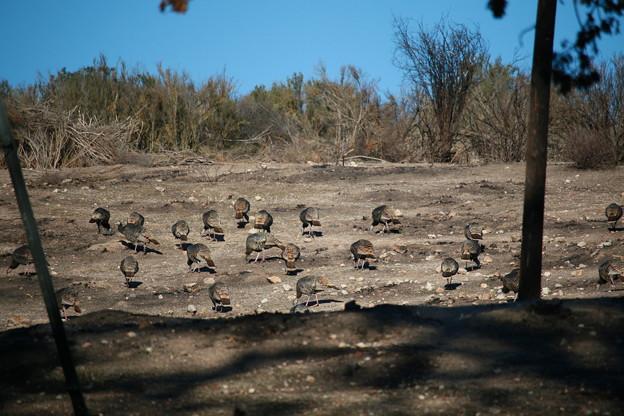 Photos: Wild Turkey (6)