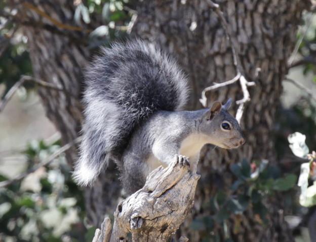 Gray Squirrel (1)