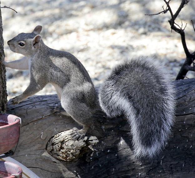 Gray Squirrel (3)