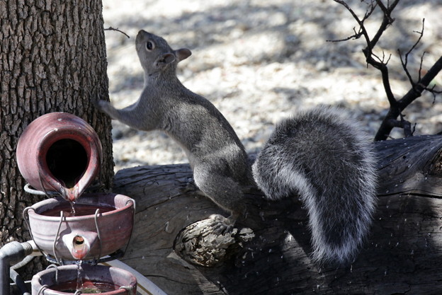 Gray Squirrel (4)