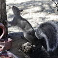 Photos: Gray Squirrel (4)