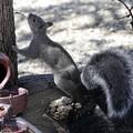Photos: Gray Squirrel (4)