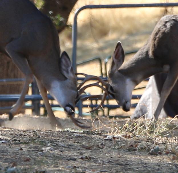 Muleの角突き (6)